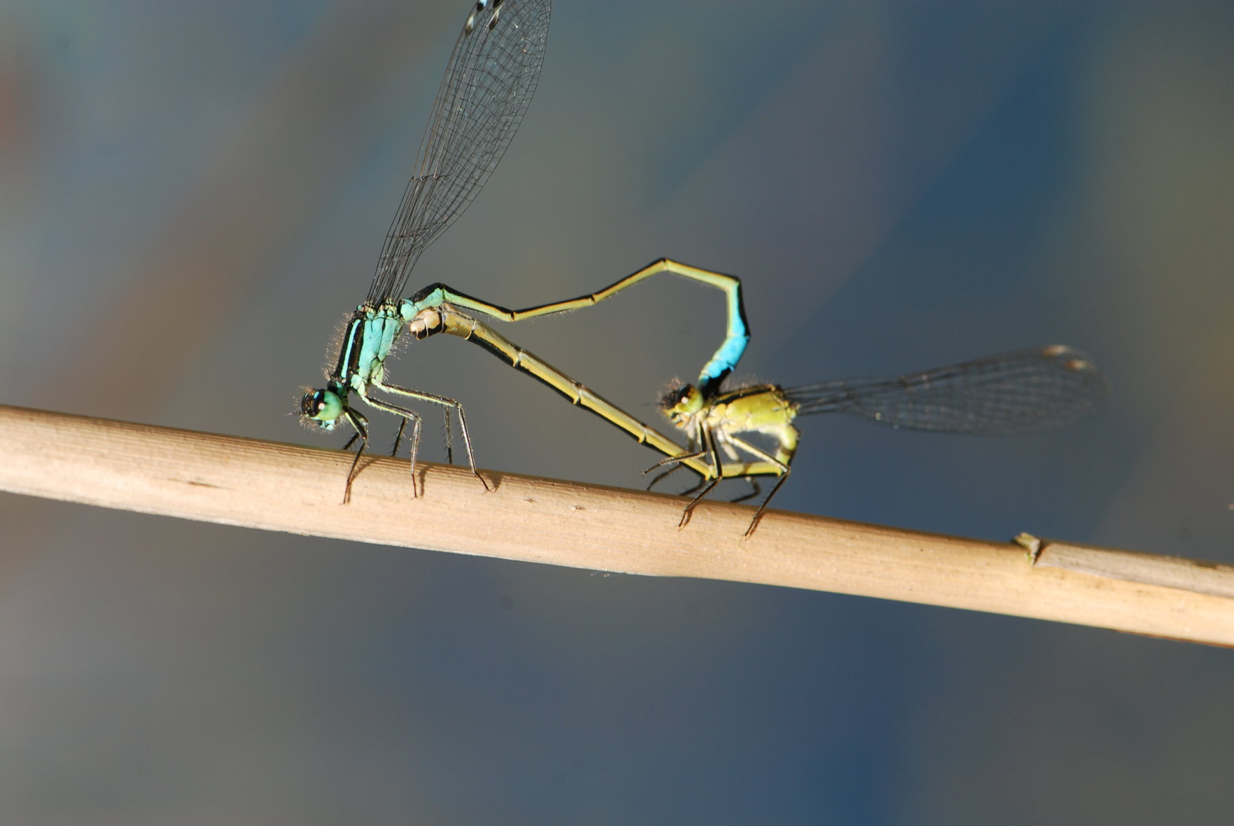 Blue Tailed Damsel' A'Bog minimized