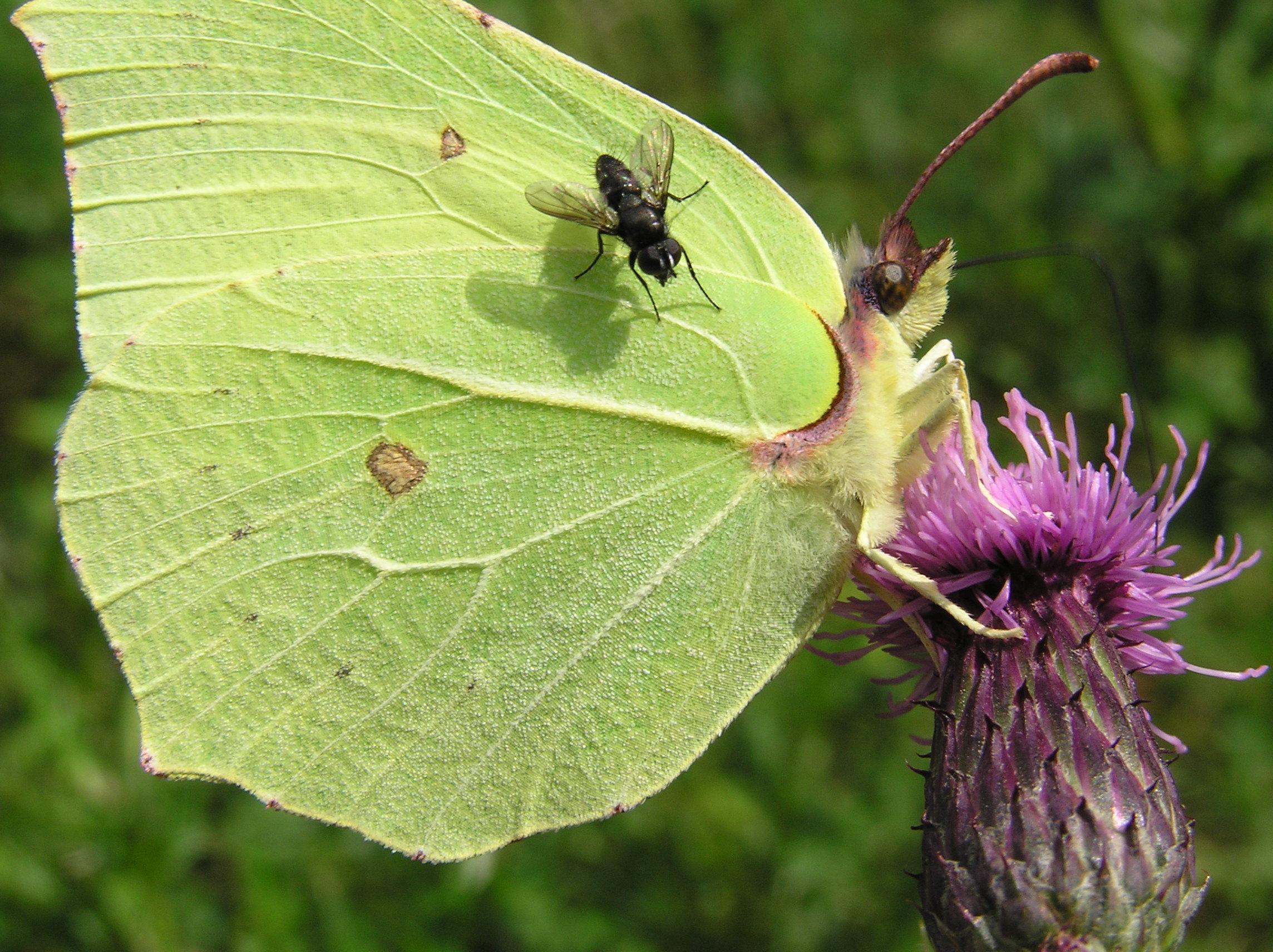 Brimstone butterfly. (Gonepteryx rhamni)
