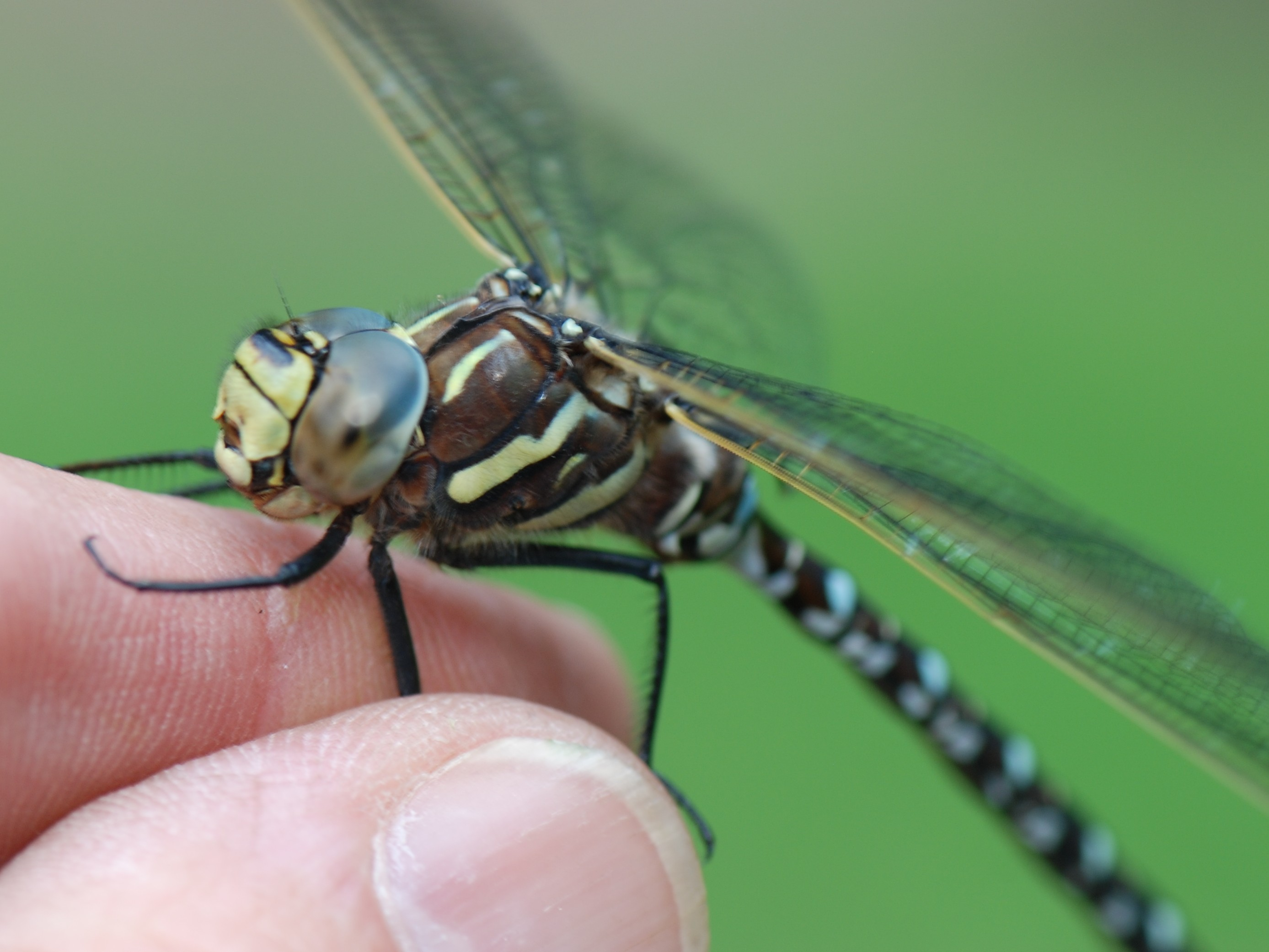 Common Hawker' Ox C