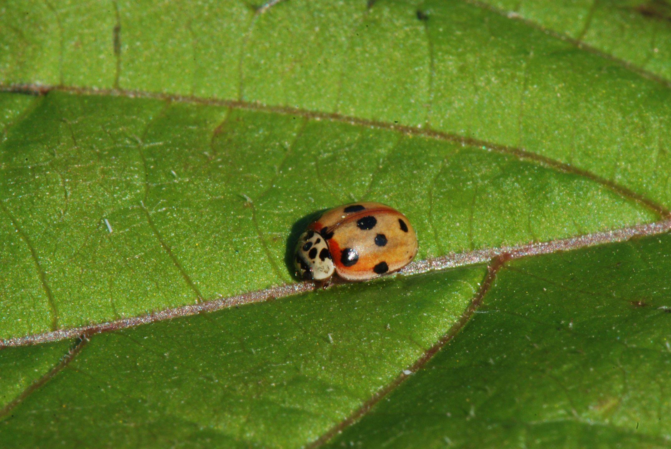 Adalia decimpuntata, the 10-spot Ladybird