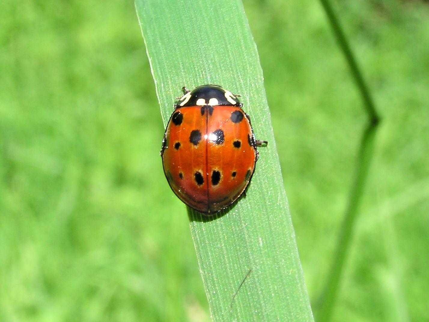 Anatis ocellata, the Eyed Ladybird is Britain's largest ladybird.