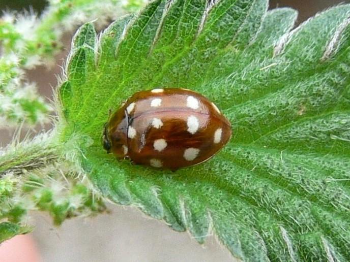 Cream-spot Ladybird Calvia quatuordecimguttata.