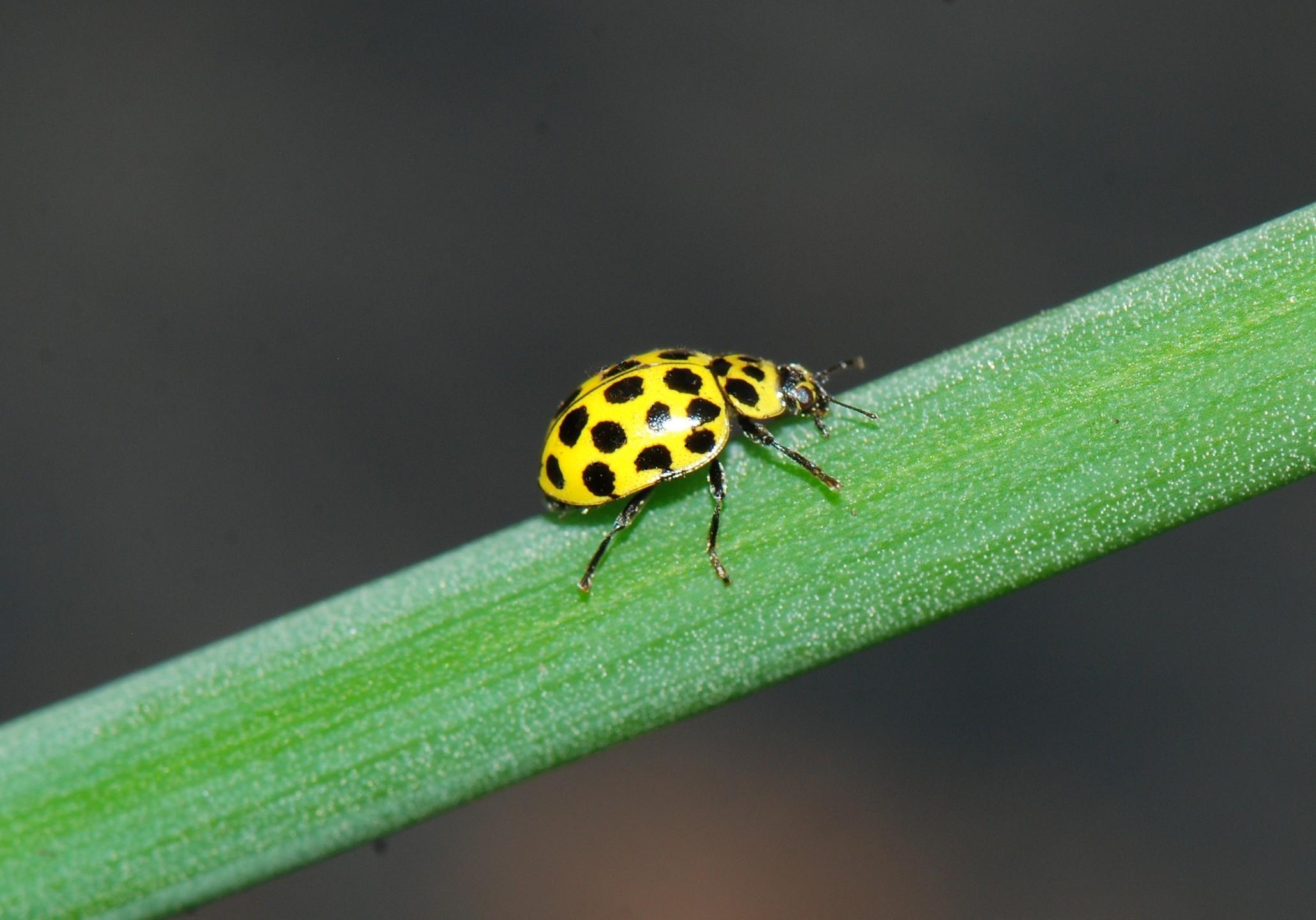 The Twenty-two spot Ladybird Psyllobora vigintiduopunctata