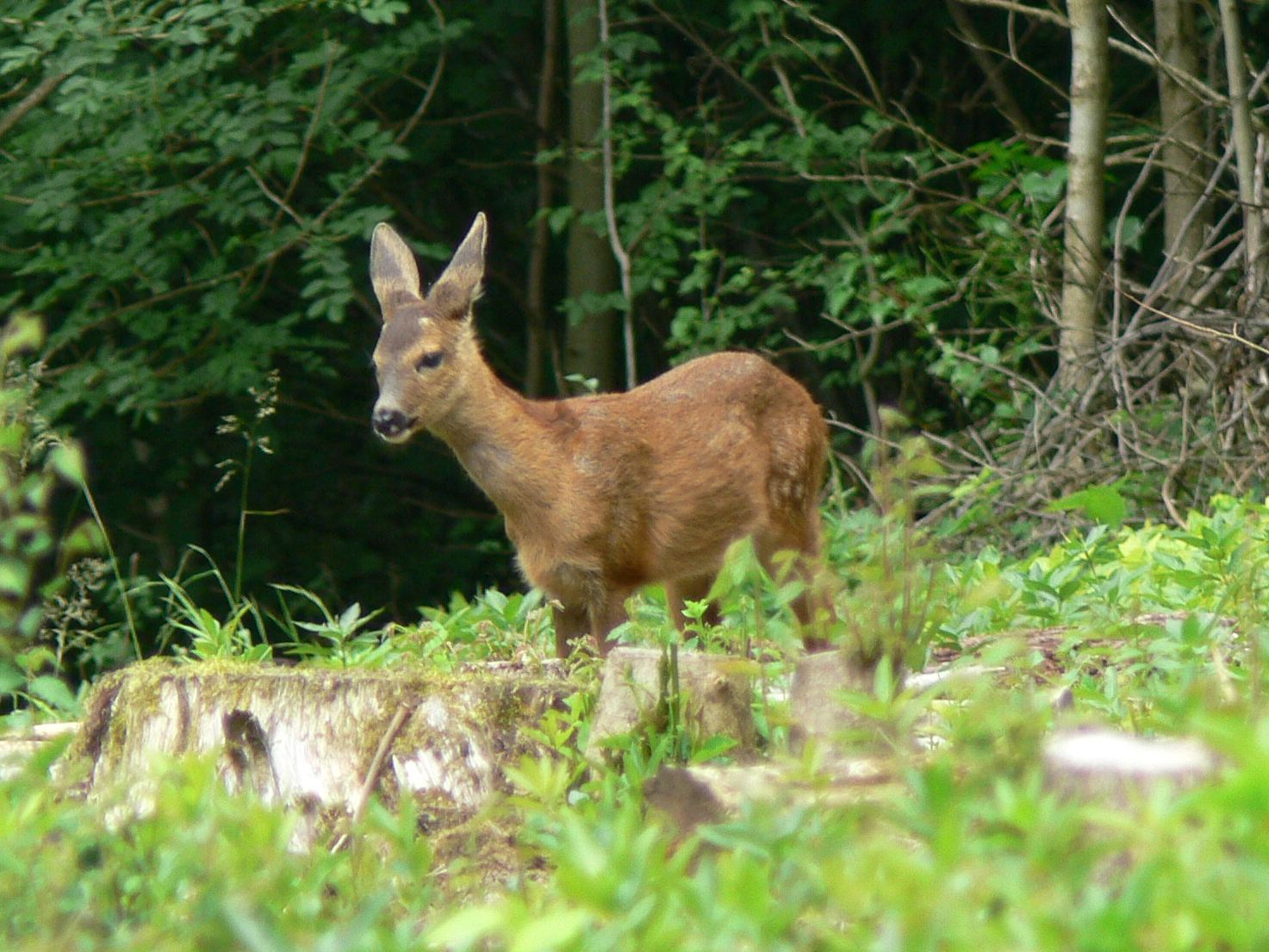 Up to four Roe Deer are frequently seen in the wood.