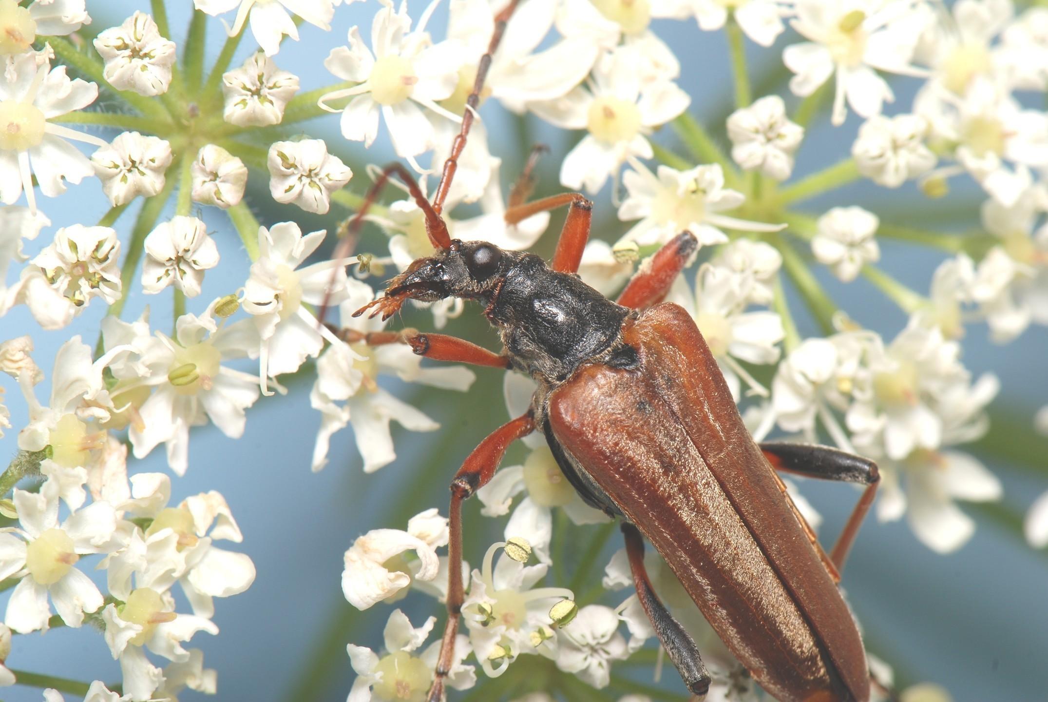 Stenocorus meridianus is another type of longhorn beetle.
