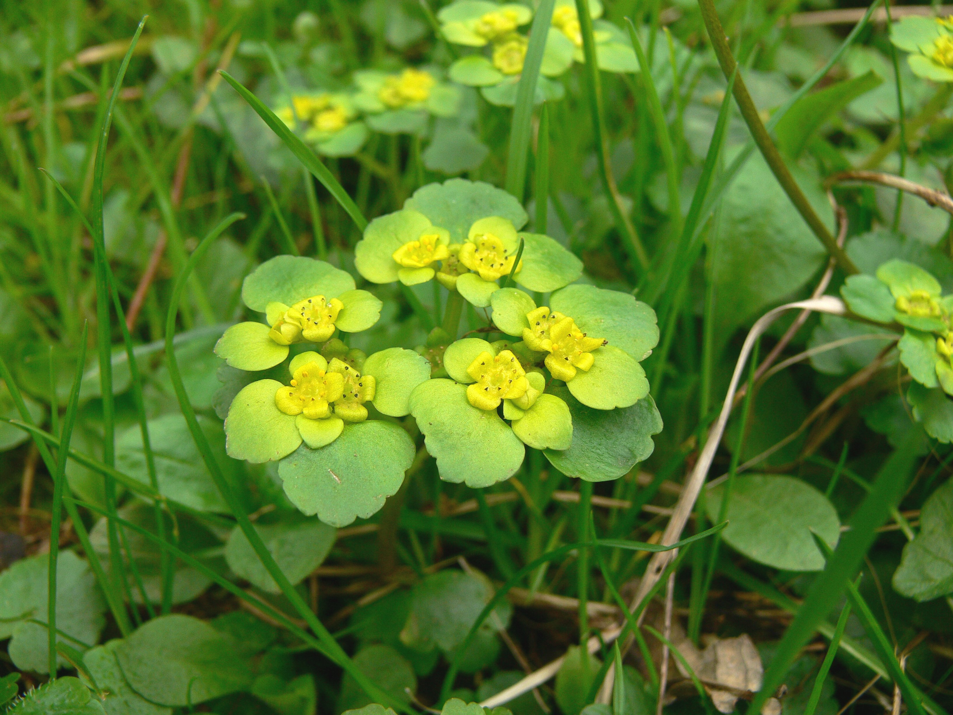 The Alternate-leaved Golden Saxifrage is larger than the more common Opposite-leaved Golden Saxifrage.