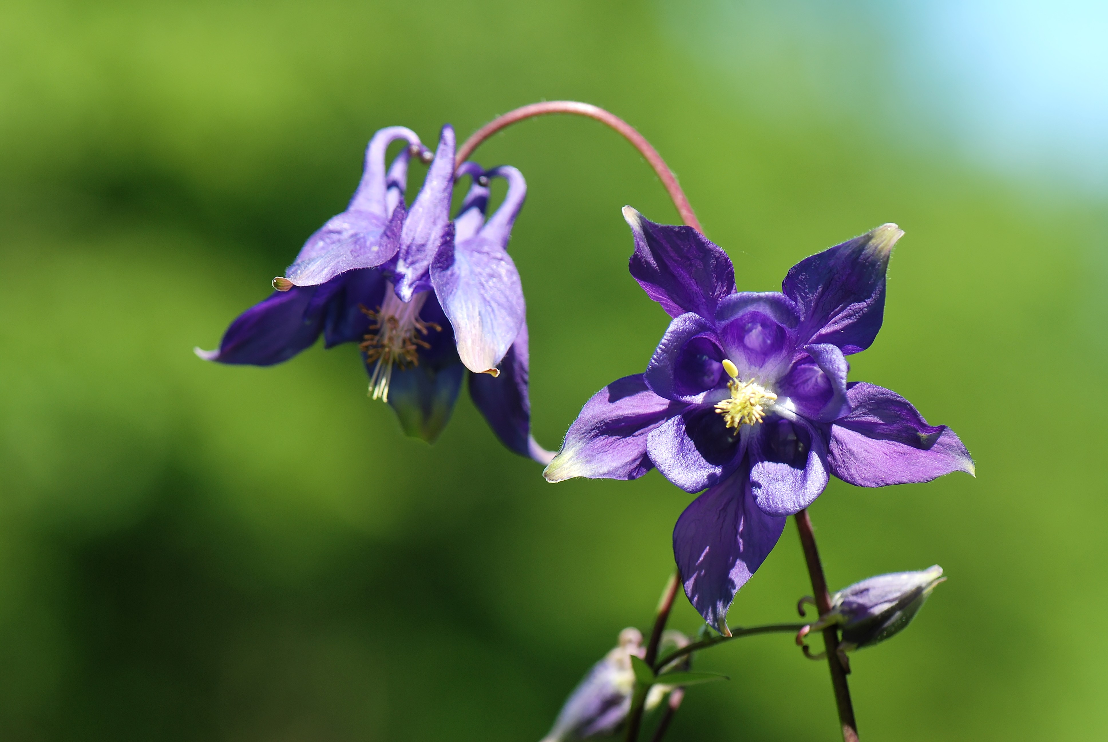 In the wild, Aquilegia is a very stately plant.