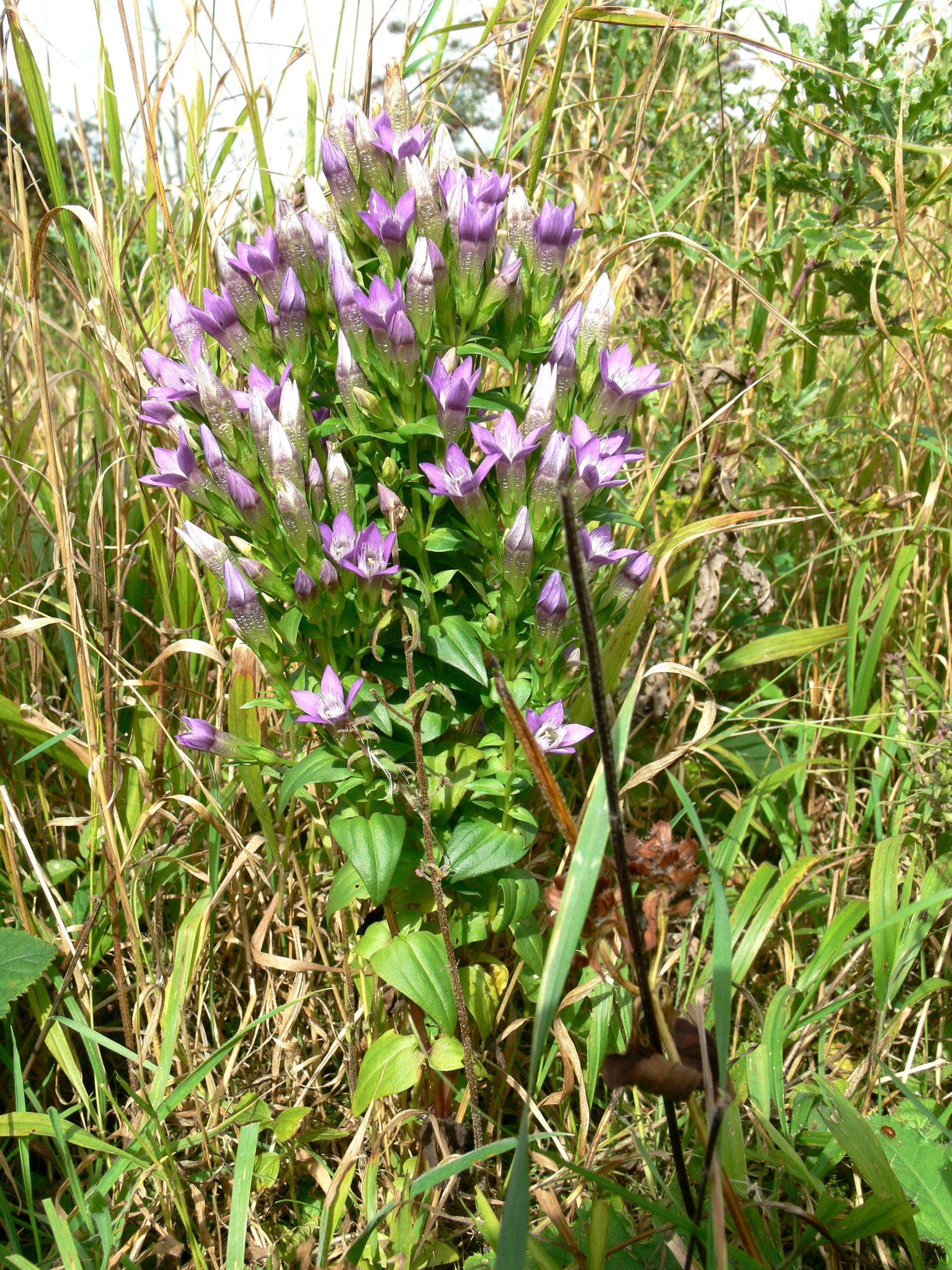 The wood has seen some splendid specimens of the Autumn Gentian up to 30cm tall.