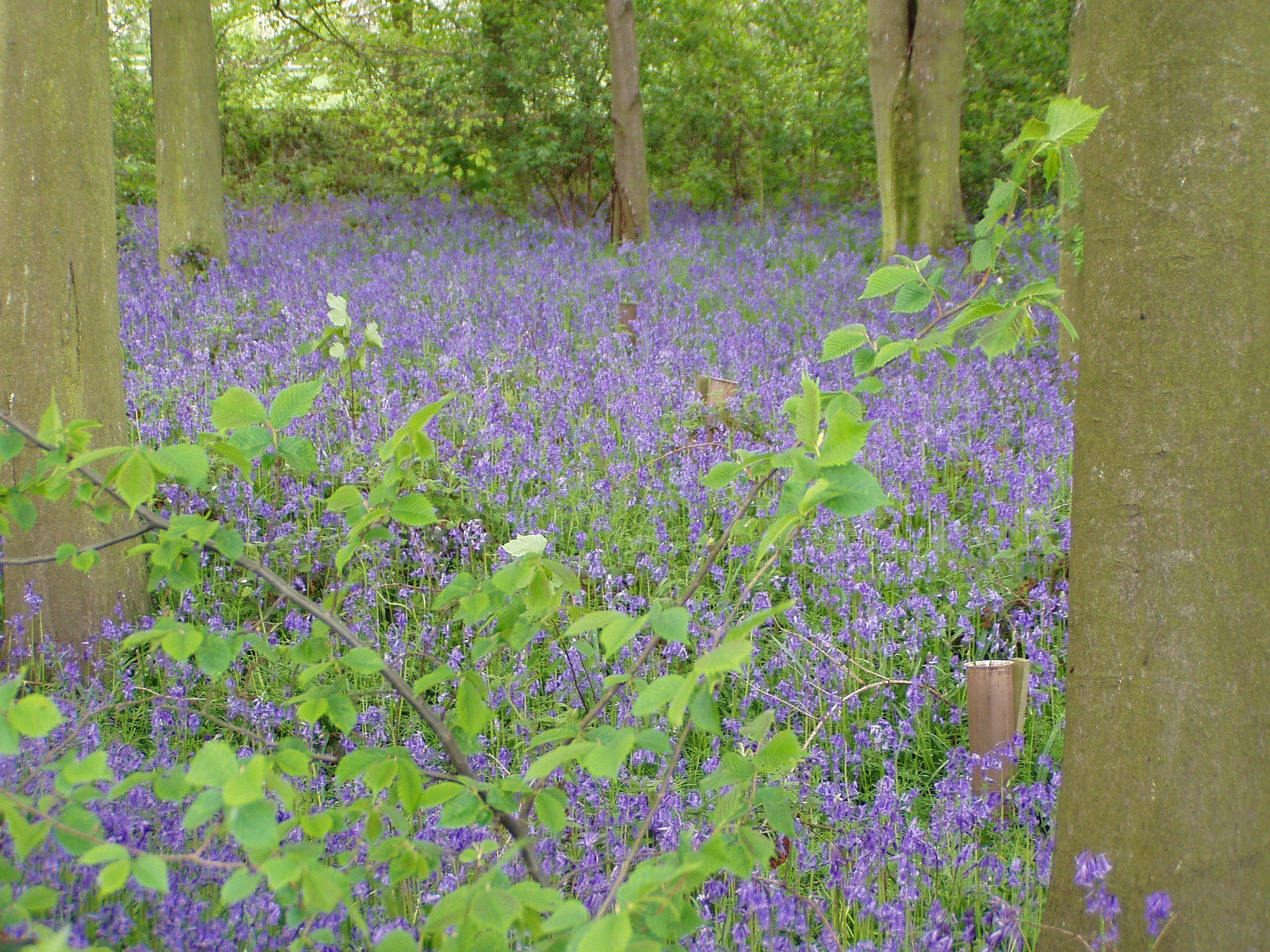 In the spring the wood is a haze of blue.