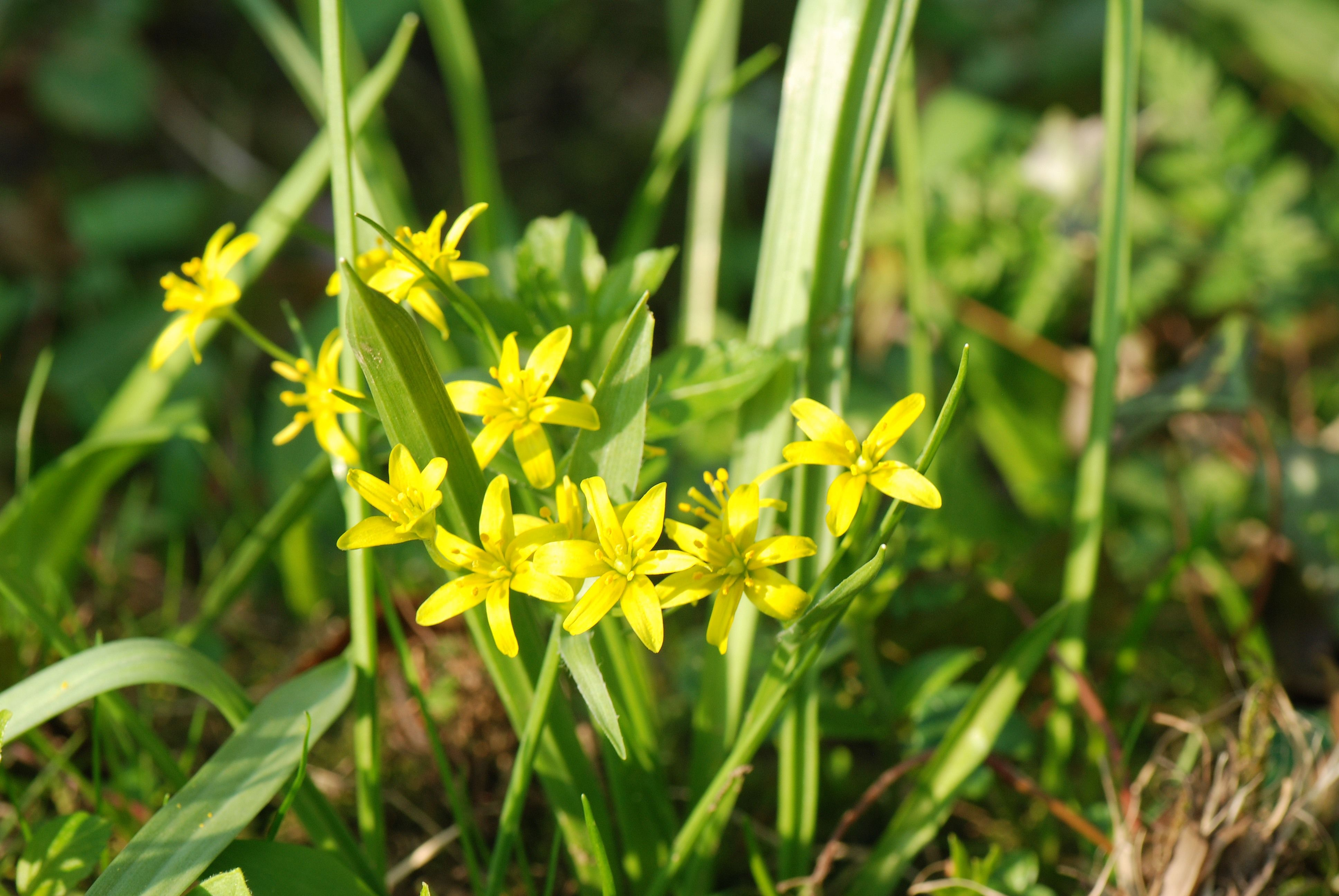 The Yellow Star of Bethlehem enjoys the damp conditions of the river bank but it is very short flowered so timing is critical in order to see it.